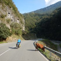 Cows on the road everywhere, 7 Oct 14