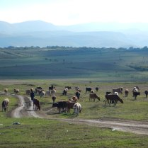 Cattle in the valley, 11 Oct 14