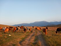 Herding the cattle back home, 11 Oct 14