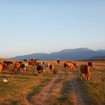 Herding the cattle back home, 11 Oct 14