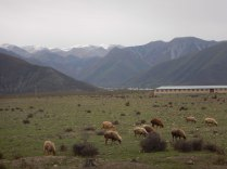 Sheep in front of the Caucasus, 19 Oct 14