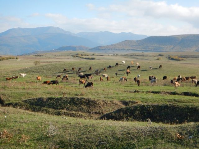 Giorgi's herd of cattle at the foot of the mountains