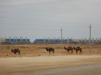 Our first Asian camels, 2 Nov 14