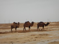 Camels in the rain, 2 Nov 14