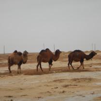 Camels in the rain, 2 Nov 14