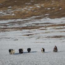 Herding yak by motorbike on the grasslands