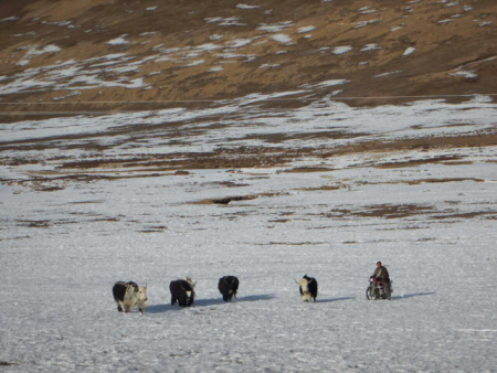 Herding yak by motorbike on the grasslands