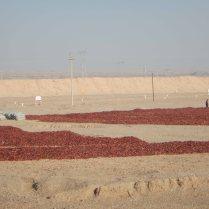 Bagging dried chillis, 8 Jan 15