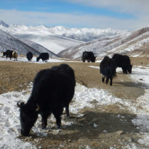 Yak at the top of another pass